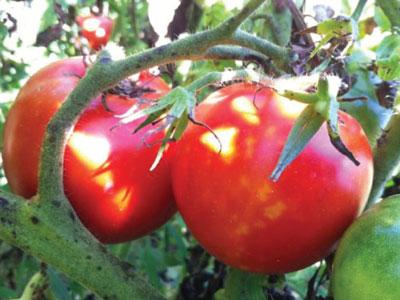 Blog: Tomato: The Vine of Hearts