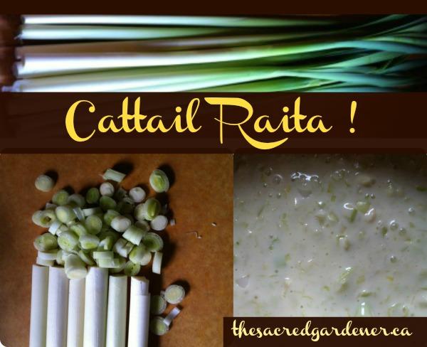 wild food wild edibles cattail raita