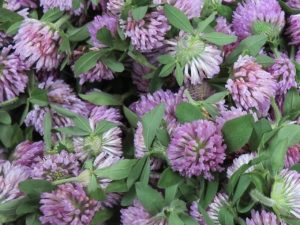 herbal medicine Steven Martyn herbs red clover